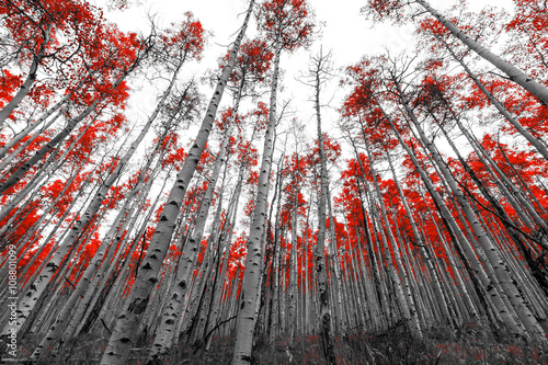 Tall Red Trees in Black and White Landscape