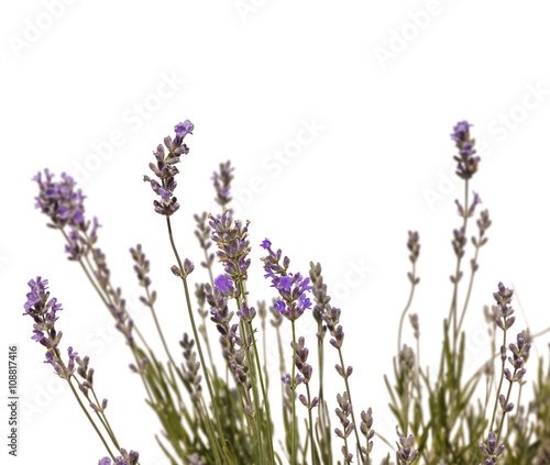 Garden Poster Lavender Lavender on a white background isolation