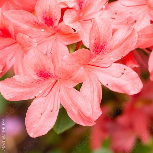 Plakat Oddział z pachnącymi czerwonymi kwiatami Azalie