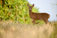 Young Roe In Vineyard