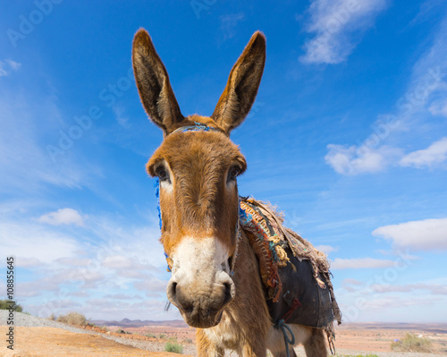 Donkey, farm animal in the Moroccan countryside.
