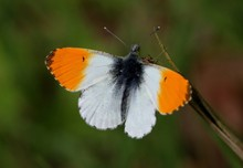 Male European Orange Tip Butte...