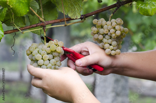 Fotografía  Agricultor Recolectando los racimos de uvas para elaborar vino