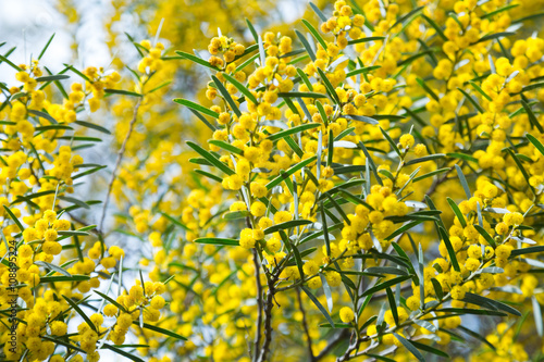 Acacia dodonaefolia yellow flowers buy this stock photo and acacia dodonaefolia yellow flowers mightylinksfo