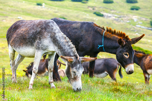 Tuinposter Panter Drove of donkeys resting in the green meadow