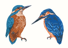 Common Kingfisher, Alcedo Atthis. Colorful Hand Drawn Vector Illustration, Realistic Sketch.