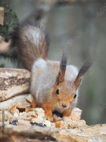 Fotobehang Eekhoorn red squirrel on a feeding trough in the forest