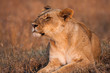 Close-up portrait of a majestic lioness in nature, Africa