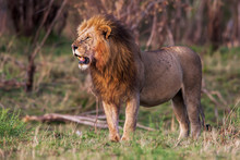 Male Lion Standing In The Gras...