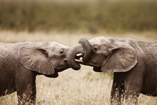Elephants Touching Each Other ...
