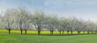 canvas print picture - bluehende Kirschbaeume vor einem gelben Rapsfeld