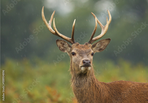 Wall Murals Deer Young male of red deer standing in high fern, rainy day, clean background, UK, Europe