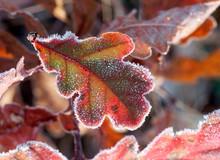 Frozen Oak Leaf