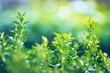 Green quickset on small-depth-of-field, horizontal orientation, beautiful colorful bokeh.