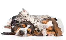 Funny Kitten Lying On The Puppies Basset Hound. Isolated On Whit