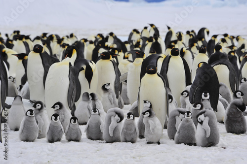 Photo  Emperor Penguins with chick