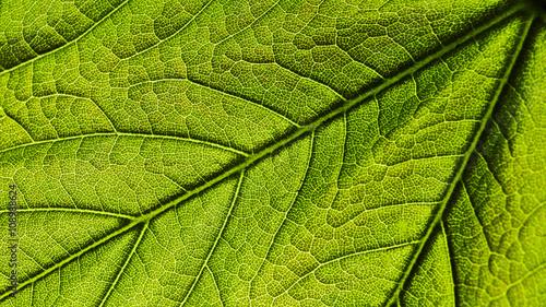 Fotografia, Obraz  Foglia verde brillante texture