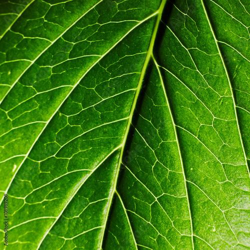 Fotografering  Foglia verde brillante texture
