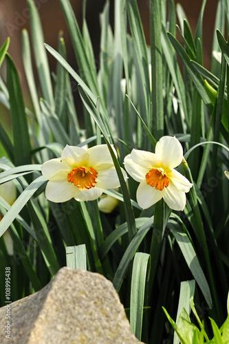Narcissus narcis