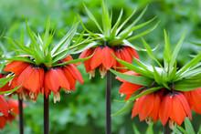 Kaiserkrone - Fritillaria Imperialis Blüten