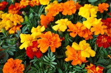 Yellow And Orange Marigold Flowers In Bloom