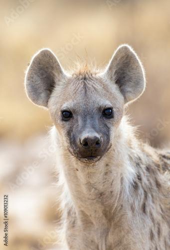 Poster Hyène Spotted Hyena portrait