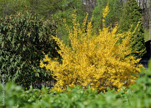 Cuadros en Lienzo yellow flowers bush of forsythia