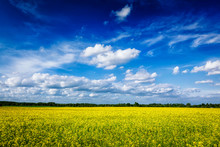 Spring Summer Background - Canola Field With Blue Sky