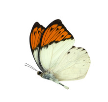 Great Orange Tip Butterfly Iso...