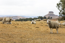 Sheep Resting In The Veld