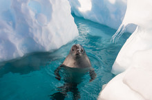 Crabeater Seal In The Water