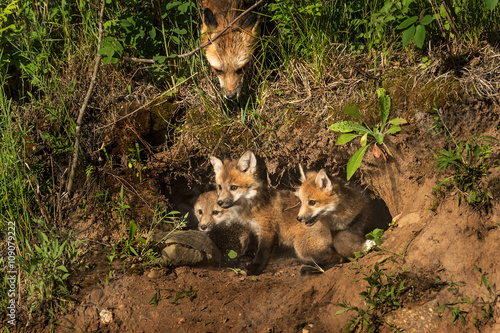 Valokuva  Red Fox Kits in Den (Vulpes vulpes) Mother Watching from Above