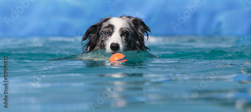 Fotografija Australian border collie swims with a toy in a pool in summer.