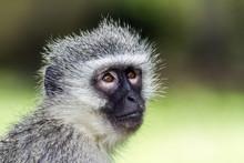 Vervet Monkey In Kruger Nation...
