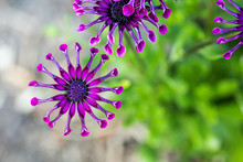 Purple African Daisy Or Osteospermum Flower Against Natural Green Background