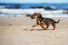 Brown Dachshund Puppy Running On A Beach