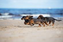 Dachshund Puppies Running On A Beach