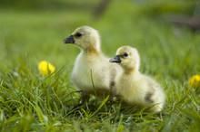 Portrait Of A Little Gosling On Meadow