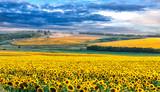 Picturesque sunflower field - 109137468