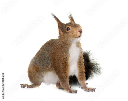 Squirrel Eurasian red squirrel