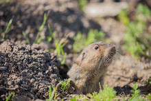 Botta's Pocket Gopher - Thomom...