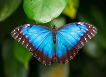 Blue Morpho (morpho Peleides) On Green Nature Background.