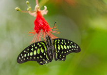 Graphium Agamemnon On Red Bloom