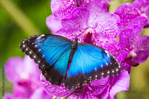 Valokuva  Blue morpho (morpho peleides) on green nature background.