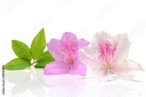 Papiers peints Azalea Japanese pink azalea and leaf in white #2