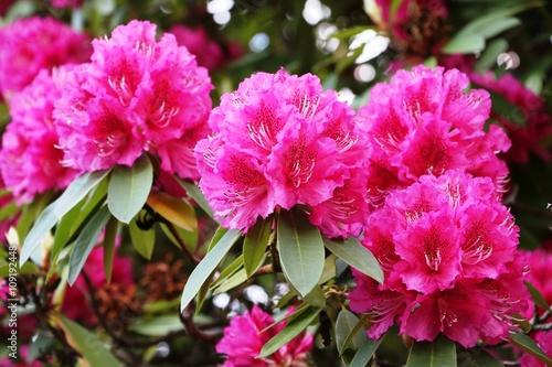 Zdjęcie XXL Różanecznikowy krzak z wielkimi kwiatami