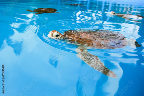 Tuinposter Koraalriffen Sea turtle in blue. Cuba.