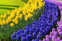 Colorful  Purple  Lilac Hyacin...