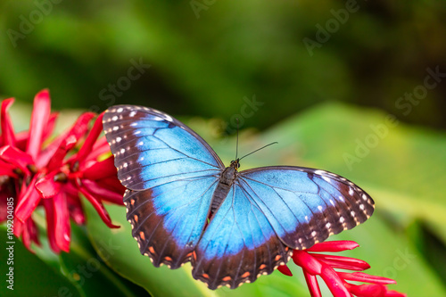 Valokuva  Peleides Blue Morpho on flower blossom