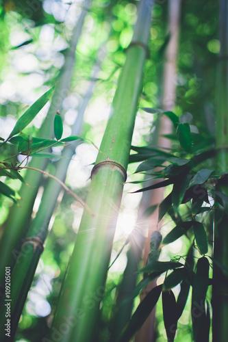Fényképezés  Bamboo grove, bamboo forest natural green background